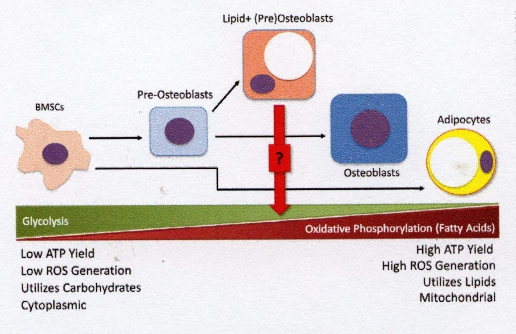 High ATP Yield High ROS Generation Utilises Lipids Mitochondria