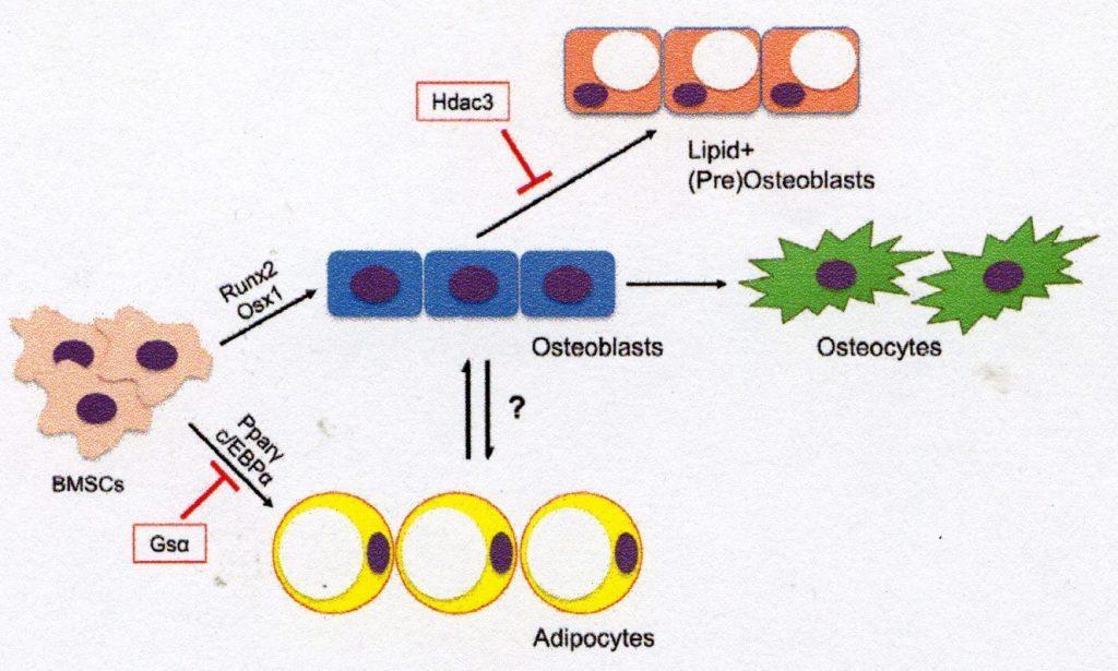 ICOSIM Osteoblasts